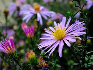 Цветок, астра многолетняя