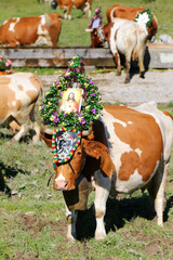 """Cow wearing huge bell and a headdress with a photo of Jesus during a cattle drive (Almabtrieb Festival) in Tyrol, Austria. Texts on a headdress """"I Geh Hoam"""" is Tyrolian word for """"I go home""""."""