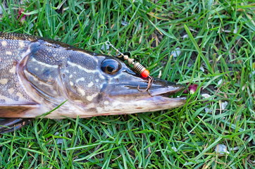 pike head with a hook in its mouth