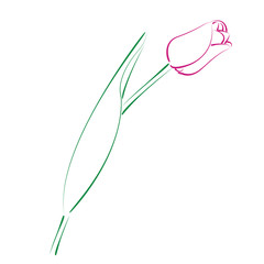 Sketched tulip.