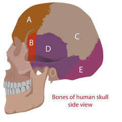 vector illustration of human head bones types. side view.