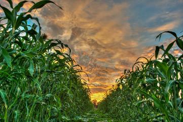 Between the sunlit row of corn stalks.
