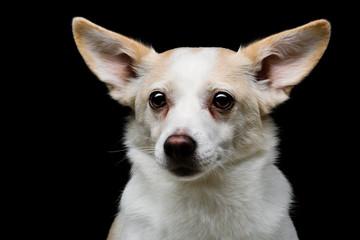 Metis dog