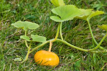 pumpkin on the grass