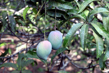 Wall Mural - Beautiful pair of raw mangoes on a mango tree in a farm