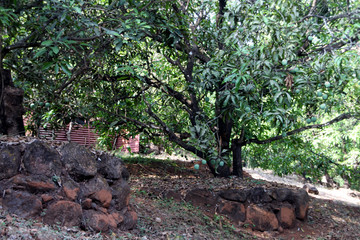 Wall Mural - Mango trees in a farm on a mountain slope. Firmly protected by stones and soil.