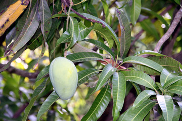 Wall Mural - eye catching mango hanging on a mango tree. IT's fresh green color with reddish tinge