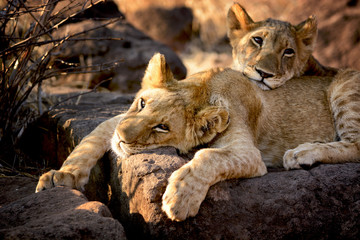 Two lion cubs have a rest, Zimbabwe