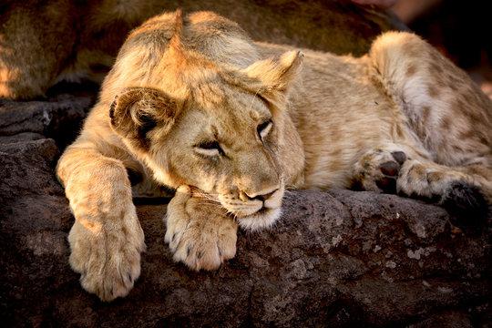 Lion cub, Zimbabwe