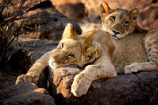Two lion cubs have a rest, Zimbabwe