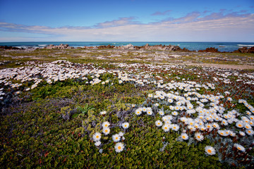 Cape Agulhas landscape, South Africa. Fields of flowers on the seashore in spring.