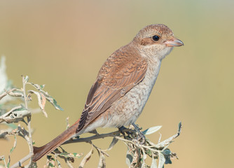 Red-backed shrike. Female