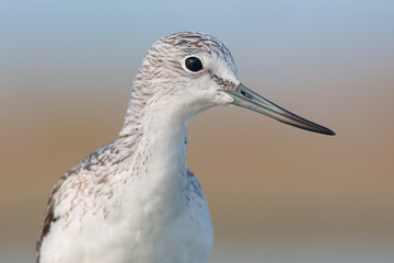 Common greenshank portrait