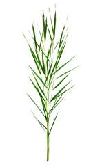 green cane stalks isolated on white background