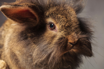 Close up picture of a brown lion head rabbit bunny