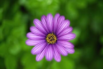 purple daisy close up