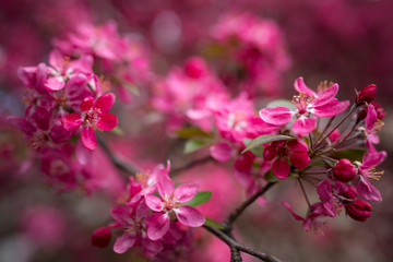 Malus pumila - Beautiful gentle lovely pink fragrant spring flowers of a paradise apple-tree in small DOF