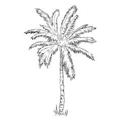 Vector Single Sketch Palm Tree