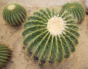 An Garden Cactus in soft light