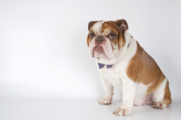 English Bulldog sitting on the right on a light background..