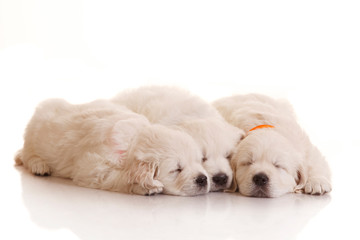 Three one month old puppies of golden retriever