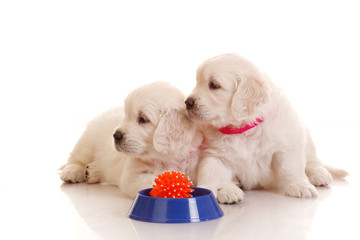 Two One month old puppie of golden retriever