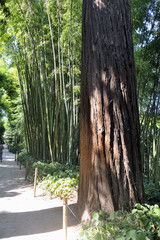 Redwood in the park of Anduze bamboo