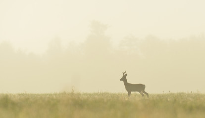 roe buck in the mist at sunrise