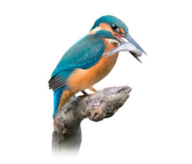 Common Kingfisher Isolated