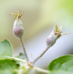 Two appleflower bud growing on a apple tree with bright sunlight