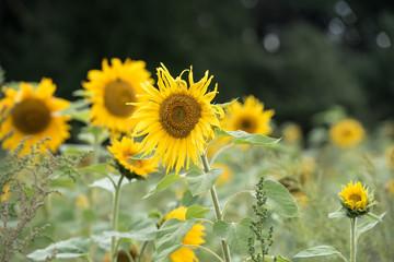 Fotoväggar - Sonnenblumen im Wind