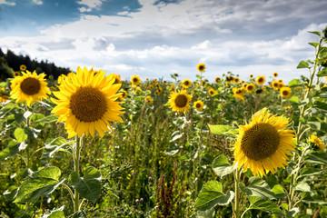 Fotoväggar - Landwirtschaft mit Sonnenblumen