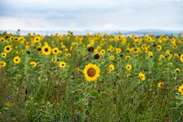 Fotoväggar - viele Sonnenblumen in einem Feld