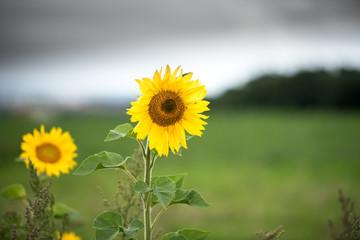 Fotoväggar - Sonnenblume - isoliert vor unscharfem Hintergrund