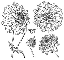 Vector Dahlia flower set. Line art.