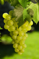 Vine and bunch of grapes