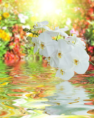 White Orchid on Surface Rippled of water and blur nature backgro