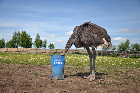 African ostrich hiding its head in the sand