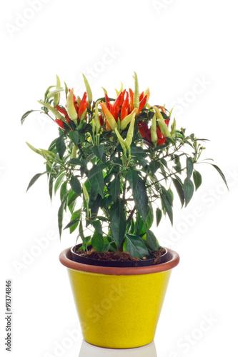 Pianta di peperoncino in vaso zdj stockowych i obraz w for Peperoncino in vaso