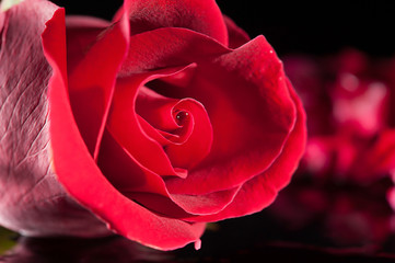 rose red close up