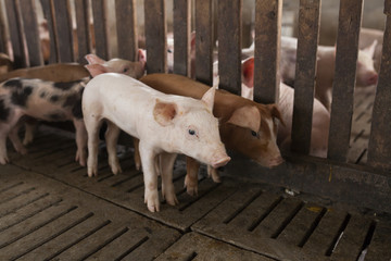 pigs in the farm