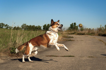 Focused Australian cattle dog leaping towards yellow ball on right on pavement