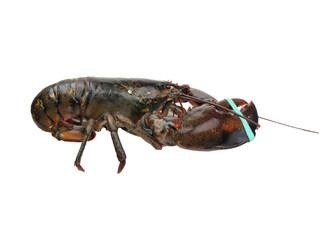 lobster - live