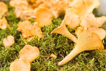 Golden chanterelle (Cantharellus cibarius) or girolle mushrooms