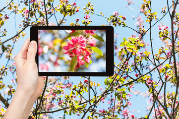 photo of pink blossoms of apple tree on tablet pc