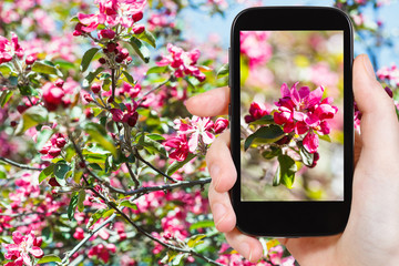 photo of pink blossoms of apple tree on smartphone