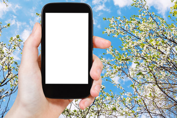 smartphone and blossoming cherry tree and blue sky