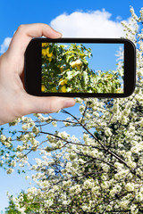 photo of ripe yellow apples on tree with blossoms