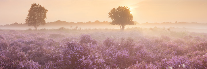 Blooming heather near Hilversum, The Netherlands at sunrise