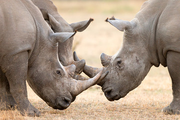 Three White Rhino's  locking horns